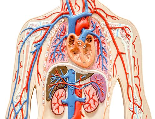 Kollagén por szívizom erősítéshez